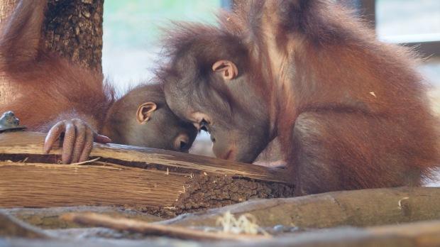 Baby Organutans, Barcelona Zoo