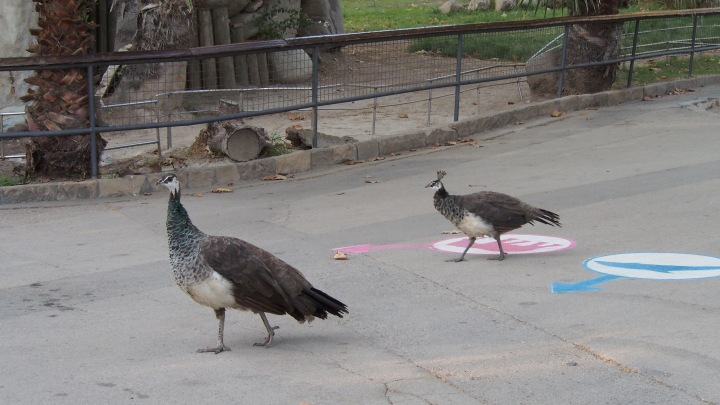 nearly grown up! Peahen chicks