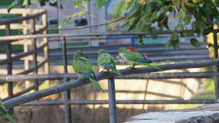3 little parakeets