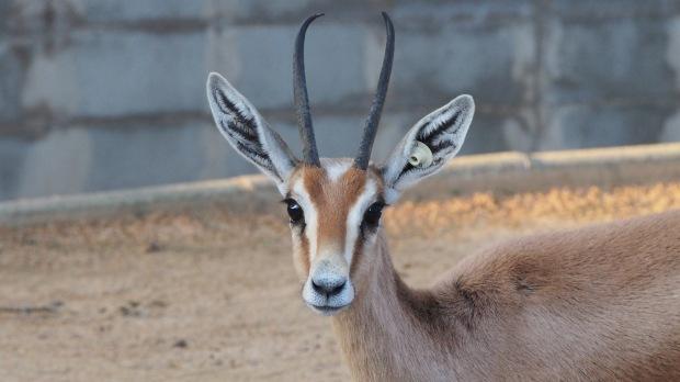 gazelle, Barcelona Zoo