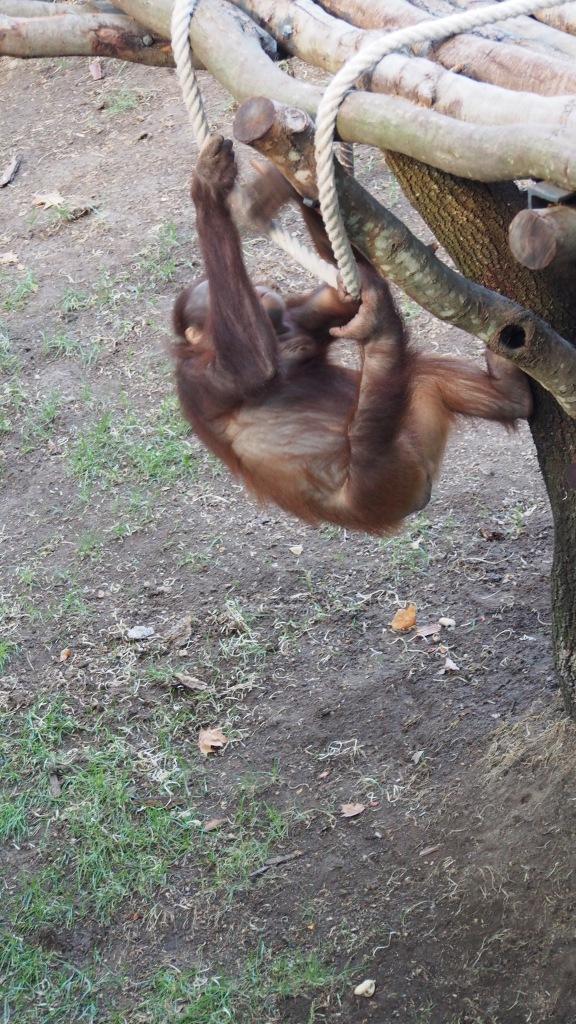 Ultimate Climbers, Organutans, Barcelona Zoo