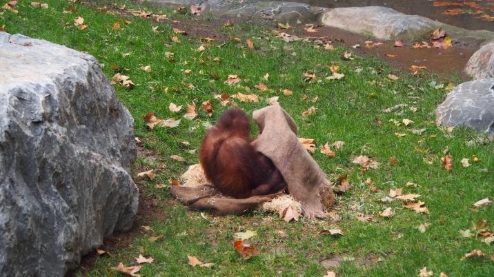Organutan hide and seek