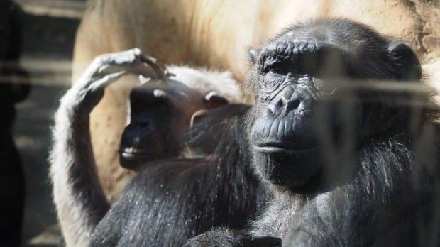 Chimps keeping warm in the sunshine