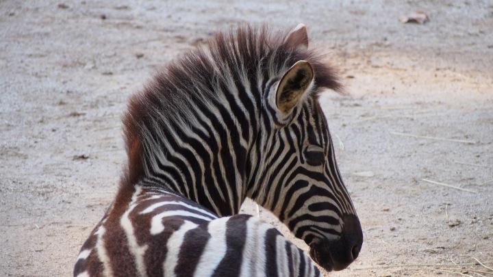 Baby Zebra, Barcelona Zoo