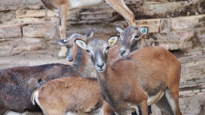 Mouflon, Barcelona Zoo