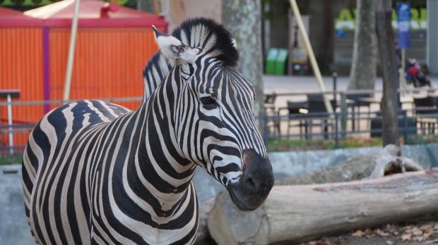 Zebra Barcelona Zoo