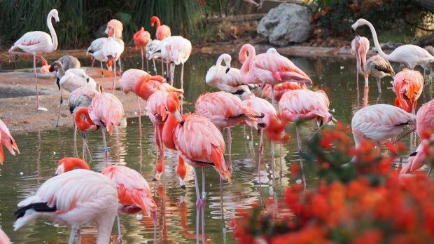 Flamingos, Barcelona Zoo