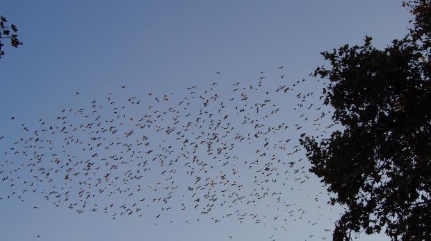 Swift/Swallow Barcelona Zoo