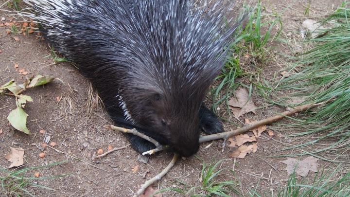 Porcupine, Barcelona Zoo