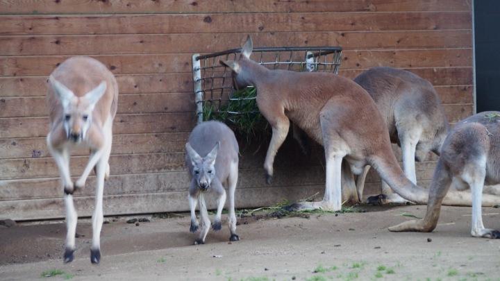 Kangaroos Barcelona Zoo