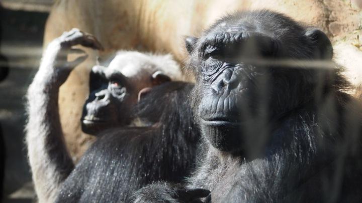 Chimps Barcelona Zoo
