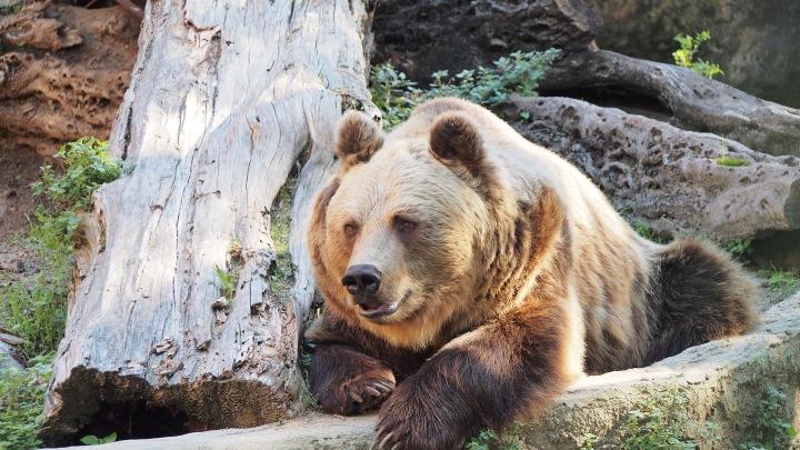 Brown bear Barcelona Zoo