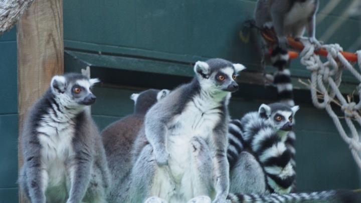 Lemur huddle, Barcelona Zoo