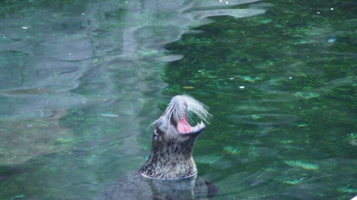Seal yawn, Barcelona Zoo