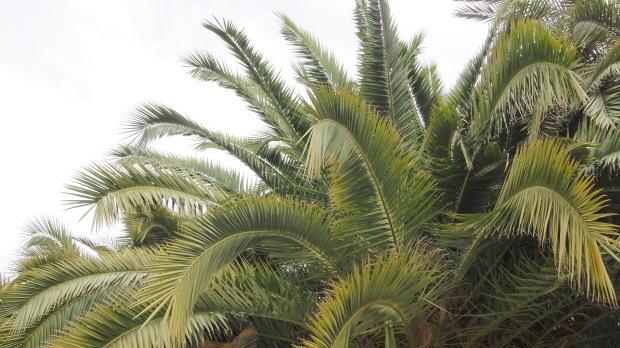 Winter palm trees