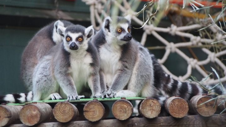 Lemurs Barcelona Zoo