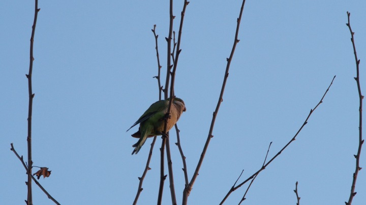 Parakeets, Parc Ciutadella