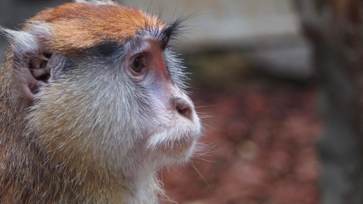 Patas Monkey, Barcelona Zoo