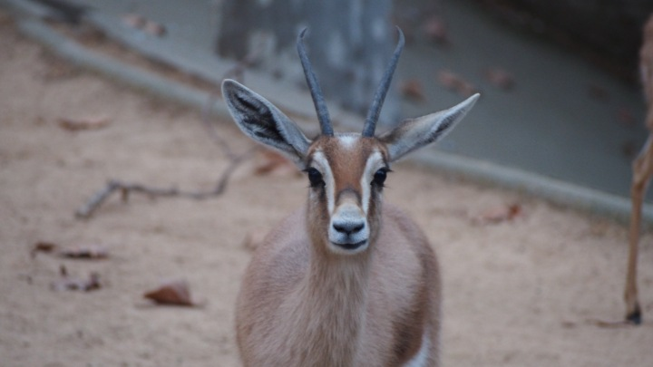 Gazelle, eyelashes and then some, Barcelona Zoo