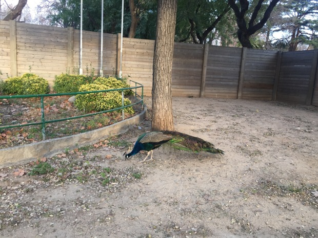 Peacock and the park