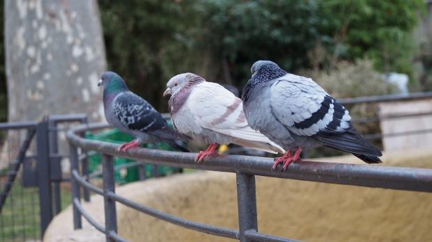 Pigeons, Barcelona Zoo