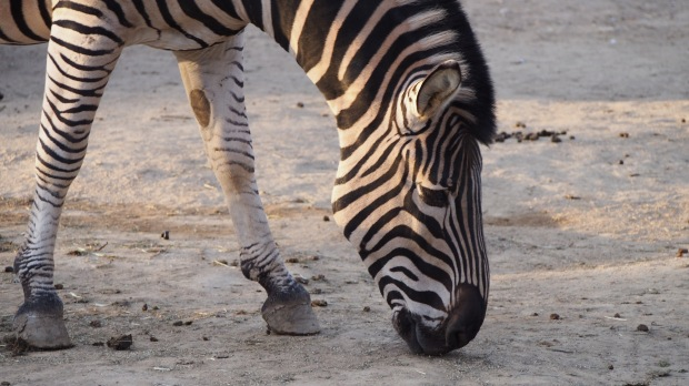 Zebra, Barcelona Zoo