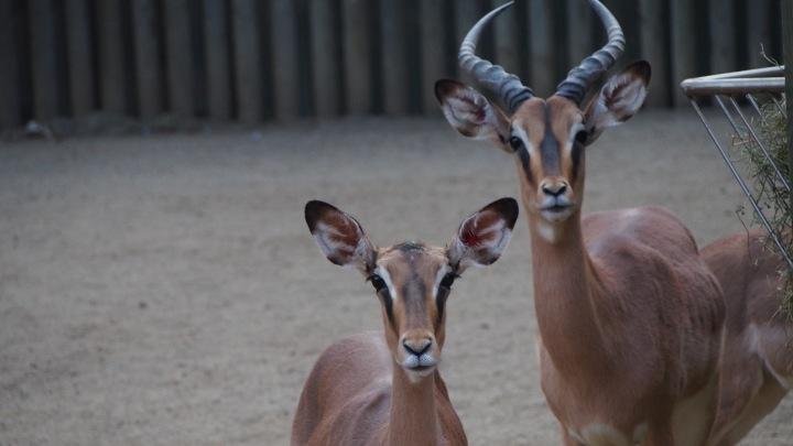 Impala Barcelona Zoo