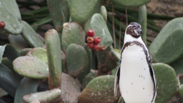 Penguins and cactus
