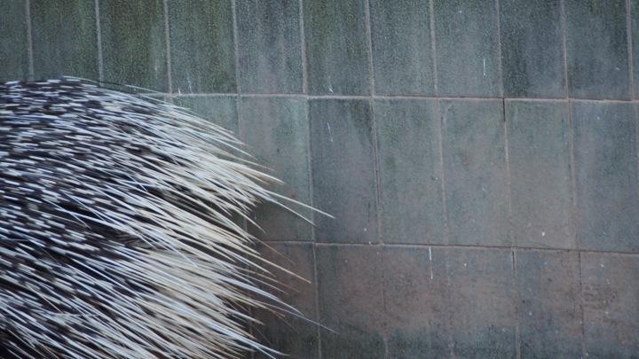 Porcupine spines