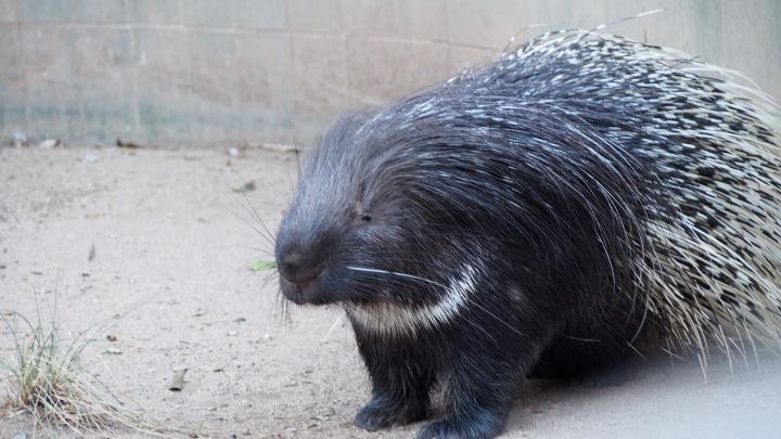 Porcupine Barcelona Zoo