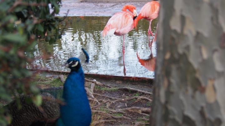 Peacock Flamingo