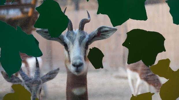 Gazelle Barcelona Zoo