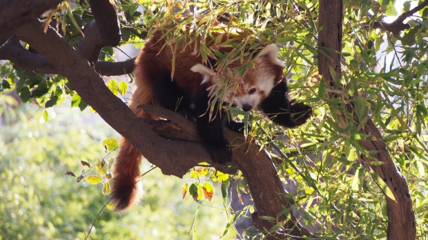 Red Panda Barcelona Zoo