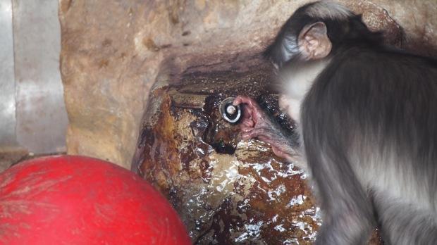Mangabey Monkeys water tap