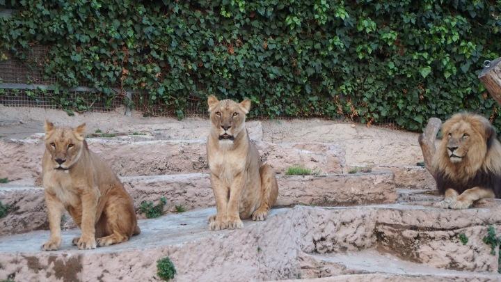 Lions, Barcelona Zoo