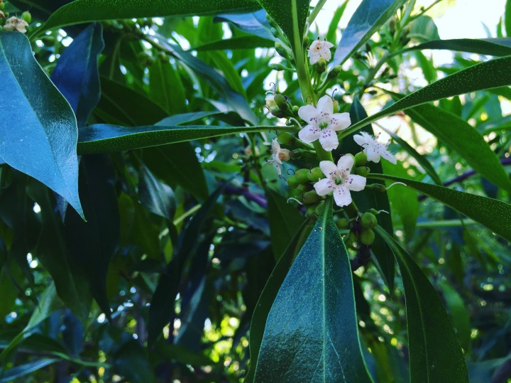 Spring jasmine