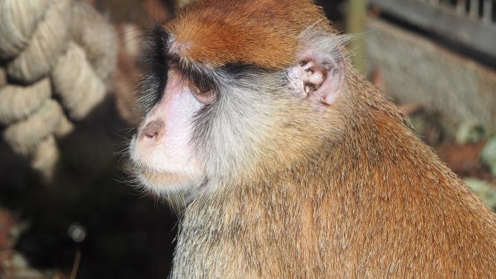 Patas Monkey Barcelona Zoo