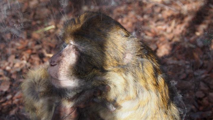 Barbary Monkey, Barcelona Zoo