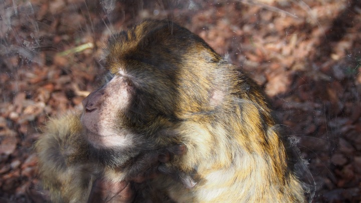 Barbary Monkey, Barcelona Zoo