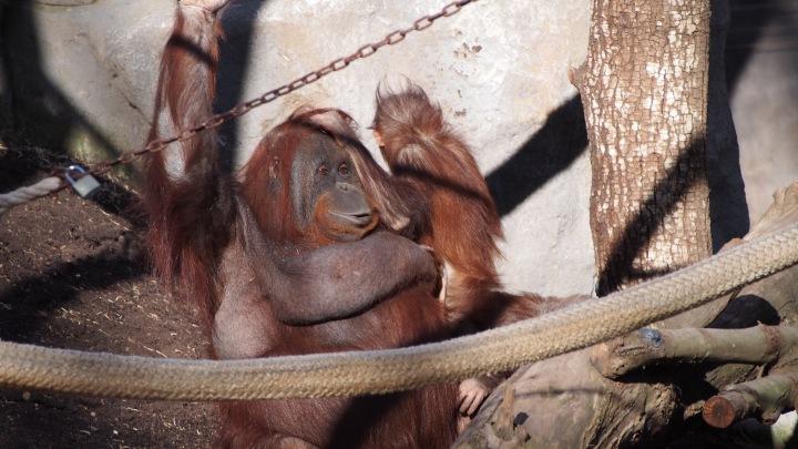 Orangutans Barcelona Zoo