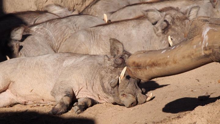 Warthogs Barcelona Zoo