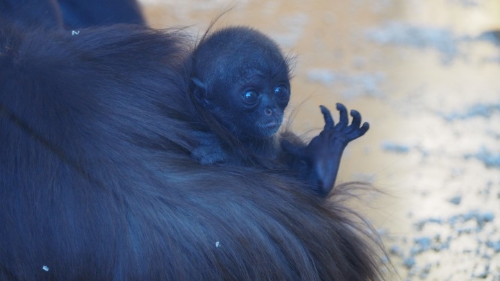 Baby Spider monkey Barcelona Zoo