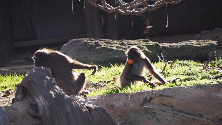 Spider monkeys Barcelona Zoo