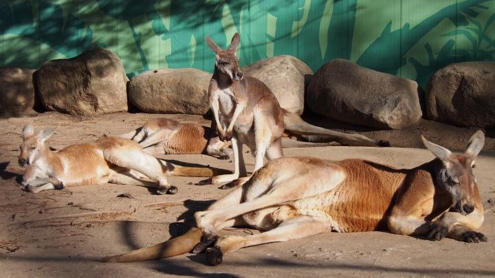 Red Kangaroos, Barcelona Zoo
