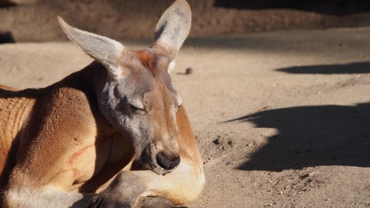 Kangaroo Barcelona Zoo