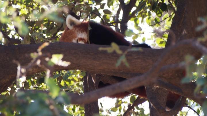 Red Panda Barcelona Zoo