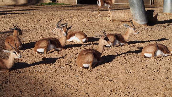 Gazelles Barcelona Zoo