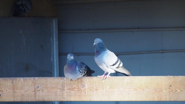 Pigeons Barcelona Zoo