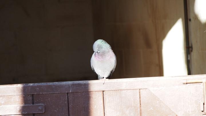 Pigeon, Barcelona Zoo