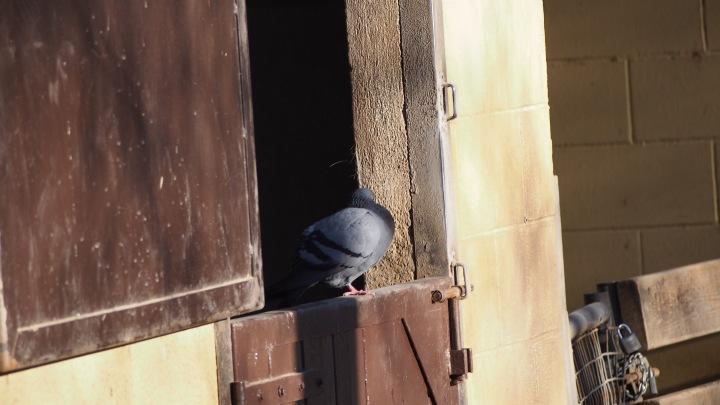 Pigeon Barcelona Zoo